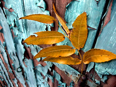 yellow leaves on blue painted door (Mr.  Mark) Tags: door wood blue deleteme5 2 deleteme8 deleteme deleteme3 deleteme4 deleteme6 deleteme9 deleteme7 leaves yellow wow leaf paint saveme4 saveme saveme2 saveme3 deleteme10 decay chip cracked markboucher
