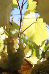 IMG_6452 (m_ranger) Tags: summer sunlight closeup winery grape crymea