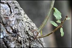 (shimon21) Tags: geotagged oak haifa carmelmountain geo:lat=32754654 geo:lon=35029306 carmelwoods dofingaround