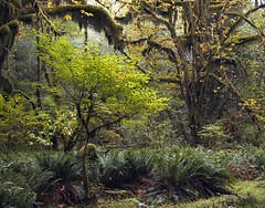 Quinault Rainforest . 38 (Steven Schnoor) Tags: autumn trees plants usa fern color tree green art tourism nature colors leaves rain horizontal rural forest landscape outdoors photo washington nationalpark moss rainforest outdoor  olympicpeninsula pacificnorthwest northamerica environment steven lush ferns washingtonstate olympicnationalpark pnw attraction activities quinault temperate westernwashington schnoor saywa experiencewa intimatelandscape imagesmyth experiencewashington stevenschnoor stevenschnoor