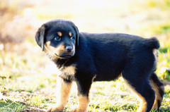 Kaysa.  Slide Film Scanned, Epson Perfection 4490 Photo Scanner. (Keith Lovelady's Photography) Tags: family dog puppy rott puppydog