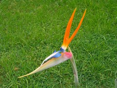 Bird Of Paradise (Dr. Keats) Tags: pink flowers blue orange flower green bird garden interestingness flickr paradise reservoir explore exotic birdofparadise bloom 3073 interestingness402 pc3073 drkeats chriskeating