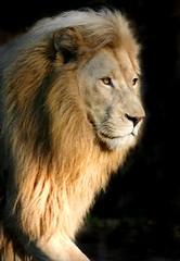 His Royal Highness (hvhe1) Tags: cats male nature animal animals cat bravo king wildlife lion lions predator instantfave interestingness483 outstandingshots animalkingdomelite outstandingshotshighlight hvhe1 hennievanheerden
