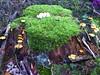 stump (Navas) Tags: moss fungi treestump utatathursdaywalk28