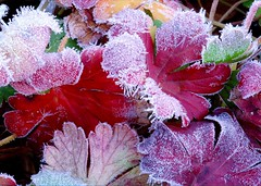 A touch of frost on heuchera leaves - by Lida Rose