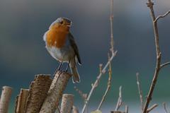 Robin (P.P.P ( point - press - pray )) Tags: bird robin