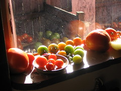 Tomatoes From the Garden Ripen in the Window A...