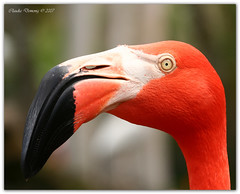 To Bite or Not to Bite? (Fraggle Red) Tags: nature birds bravo florida head flamingo upclose davie caribbeanflamingo phoenicopterusruber flamingogardens abigfave canonef70200mmf4lisusm anawesomeshot impressedbeauty superbmasterpiece beyondexcellence diamondclassphotographer flickrdiamond
