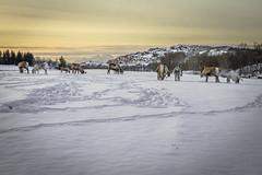 Looking for FRESH grass (Jø Dåg) Tags: reindeer snow mountain offersøy winter 5d sunset lofoten norway norge norvege