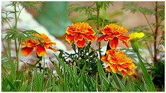 Flores (o.dirce) Tags: flor flores odirce fleur flower planta interessante colorida