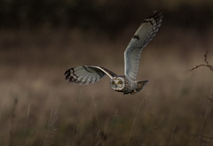 Short Eared Owl  - (Asio flammeus) - 'Z' for zoom (hunt.keith27) Tags: purple talons bird feathers wings quartering asioflammeus shortearedowl inflight owl eyes beautiful magnificent medium sized owls pale underwings yellow hunting mammals especially voles animal canon grass field landscape 600mmf4