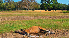 Banteng Ujung Kulon Tewas (Wisata Pulau Jawa) Tags: banteng ujungkulon sabana savana cidaon banten safarisatwa wildlife satwaliar konservasi adventure edukasi florafauna jelajah explore goexplore indonesia