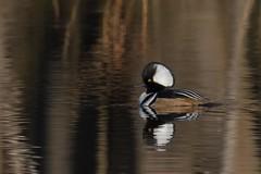 Hooded Merganser Drake (rob.wallace) Tags: winter 2018 huntley meadows park alexandria va waterfowl hooded merganser drake
