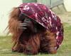 orangutan Bako Ouwehand BB2A6009 (j.a.kok) Tags: orangutan ouwehands orangoetan orang aap ape animal mammal monkey mensaap primaat primate asia azie bako zoogdier dier