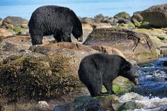 Lunch For Two? (PamsWildImages) Tags: nature wildlife canada bc blackbears vancouverisland pamswildimages canon pammullins 5dmarkiii
