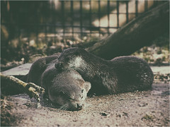 Fischotter (ingrid eulenfan) Tags: tier animal fischotter wildpark leipzig outdoor