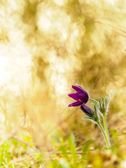 Pasque Flower (Wolfgang Hackl) Tags: flower spring outdoor pasqueflower fragility pulsatilla nopeople