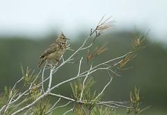 CRESTED LARK (tony.cox27) Tags: crested lark