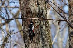 Rähn (Jaan Keinaste) Tags: pentax k3 pentaxk3 eesti estonia loodus nature puu tree rähn woodpecker kevad spring