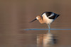 American Avocet (Amy Hudechek Photography) Tags: american avocet colorado spring migration lake wildlife nature amyhudechek nikond500 nikon600mmf4 shorebird