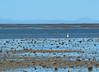 Low Tide (Grazerin/Dorli Burge) Tags: lowtide bird water lagoon mountain sky shells sanignaciolagoon bajacalifornia mexico elements