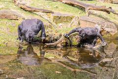 Drinking together (Photography by Martijn Aalbers) Tags: gorilla monkey ape beast animal mammal aap beest dier life leven zoo dierentuin park parc nature natuur deapenheul apeldoorn gelderland guelders canoneos77d ef70200mmf4lisusm wwwgevoeligeplatennl