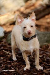 Rescue Dog Wilbur (Richard L. Probst) Tags: terrier chihuahua smalldog littledog cutedog sweetdog rescuedog dogpark littledogs pocketdog lovedogs