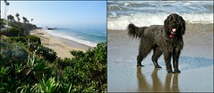 Benni's Beach and Benni (Bennilover) Tags: lagunabeach dog dogs sand running playing succulents cactus ramps walks bluff california benni labradoodle explore bennigirl