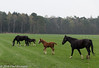 Spring in the meadow II  (Lettele) (Fred / Canon 70D) Tags: horses sigma18300mmf3563dcmacrooshsmc sigma canon canon70d canoneos lettele paarden veulens foal thenetherlands