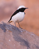 Mourning Wheatear (Wild Chroma) Tags: oenanthe lugens oenanthelugens wheatear jordan wadi rum wadirum desert passerines birds