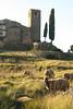 Biòtop de Sant Feliu de Terrassola (miquelopezgarcia) Tags: 2014 nadal christmas vacances holydays christmasholydays canon450d eos canon tamronlenses tamron catalonia catalunya cataluña girona youngphotographers rural pobles moianes lestany catalunyacentral ovella ramat camp sheep animal vertical xipres arquitecturarural architecture santfeliuetdeterrassola masia esglesia romanic romanesque postadesol vespre hivern santamariaolo