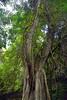 Trunyan Village Graveyard, Pohon ......, Bali 3 (Petter Thorden) Tags: bali indonesia kintamani lake gunung batur trunyan