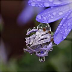 raindrops......... (atsjebosma) Tags: bud bloem knop raindrops regendruppels rain spring blue lente voorjaar blauw atsjebosma groningen thenetherlands april 2018 ngc coth5