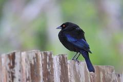 "*** "" Bronzed Cowbird / Vacher bronzé "" (ricketdi) Tags: bird bronzedcowbird molothrusaeneus vacherbronzé coth5 ngc npc"