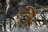 Help me! (Joice Monteiro) Tags: puma cage nature feline