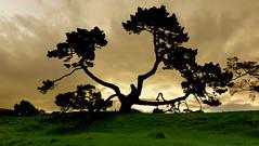 One Tree Hill Goes Gold (MrTheEdge7) Tags: onetreehill newzealand aotearoa auckland aucklandnz nz kiwi tree trees treesilhouette silhouette sunset gold maori northisland