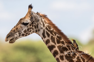 Masai Giraffe & Yellow-billed Oxpecker