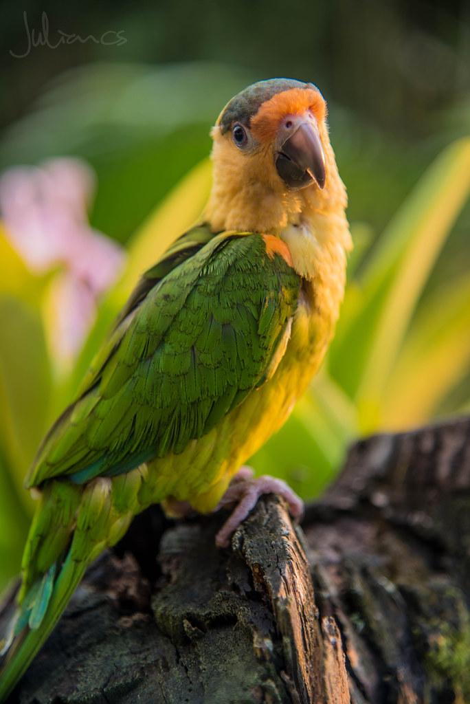 Lorito Juliancs Tags Animal Loro Bird Wild Colors Colores Fauna Contraste