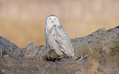 Snowy Owl (salmoteb@rogers.com) Tags: bird wild outdoor nature wildlife toronto ontario canada snowy owl perch