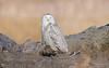 Snowy Owl (salmoteb@rogers.com) Tags: bird wild outdoor nature wildlife toronto ontario canada snowy owl perch