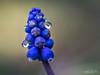 Coquette...! (minelflojor) Tags: muscaris sauvage fleur tige bokeh flou macro grappe wild flower stalk blur bunch tamronsp90mmf28dimacro11vcusd