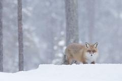 Red Fox (Daniel Trim) Tags: vulpes red fox mammal kalvträsk skellefteå skellftea sweden scandinavia europe nature animals conny lundstrom lundström winter snow snowing cold hide hides