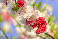 Peach Blossoms (naruo0720) Tags: peachblossom osakacastlepeachbloosomsgarden d810 桃の花 大阪城公園 大阪城公園桃園 ボケ bokeh