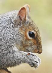 Grey Squirrel - Close-Up - Thornley Hide (Gilli8888) Tags: nikon p900 coolpix countryside squirrel closeup face rodent greysquirrel thornleyhide northeast tyneandwear explore animalplanet