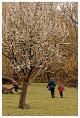 Une fillette fait le printemps (Jean-Marie Lison) Tags: eos80d bruxelles molenbeek scheutbos printemps fleurs rose arbre