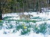 Siberian Husky among the daffodils 🌼 & snow ❄️ Central Park April 2018 (dannydalypix) Tags: aprilsnowshowers siberianhusky nyc centralpark daffodils