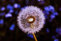 Au milieu des myosotis! (dominiquita52) Tags: nature flowers fleurs pissenlit dandelion forgetmenot myosotis bokeh
