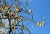 180406 603ncB 180407 © Théthi  ( 4 shots ) (thethi (pls, read my 1st comment, tks a lot)) Tags: fleur arbre noisetier printemps ciel contreplongée avril bruxelles belgique belgium faves42