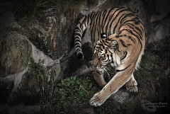 """Evening U-Turn"" (EXPLORED) (cjpk1) Tags: amur siberian cat tiger stripes predator strong dangerous endangered wildlife care"