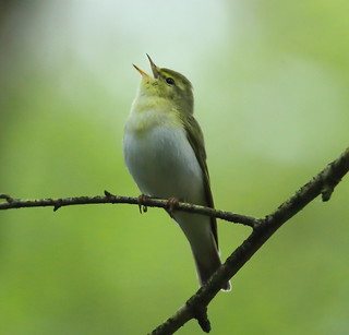 Wood Warbler New Forest